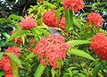 Ixora coccinea flower.jpg