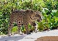 Jaguar (Panthera onca) young male walking on the sandbank ... (48697434253).jpg