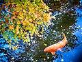 Japan Autumn Colors Momiji And Koi (60658456).jpeg