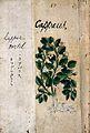 Japanese Herbal, 17th century Wellcome L0030054.jpg