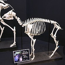 A Photograph of the skeleton of a goat-like animal