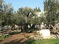 Jardin de gethsemani.JPG
