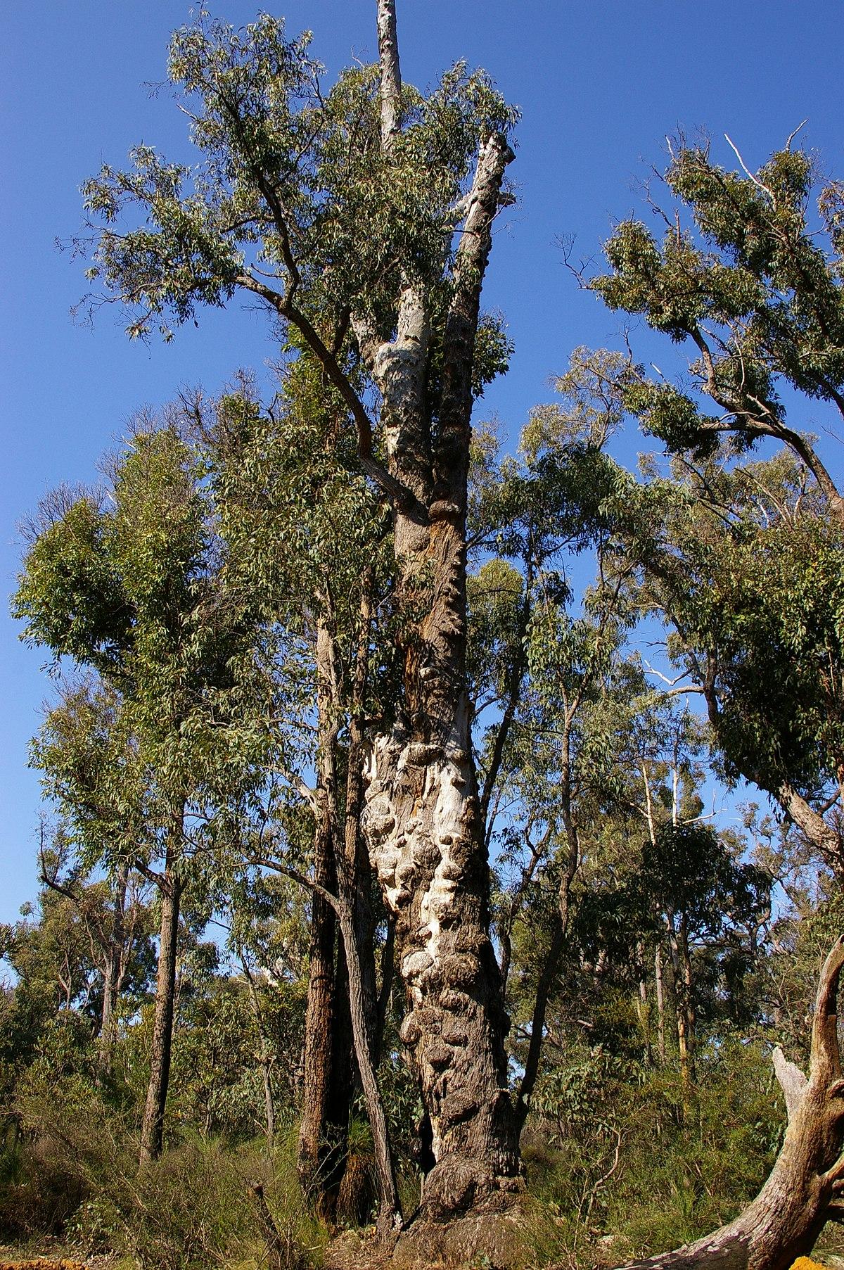 Trees Of Santa Cruz County Melaleuca Quinquenervia: Eucalyptus Marginata