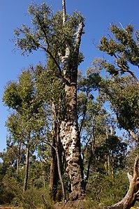 Jarrah tree burls 01 gnangarra.JPG