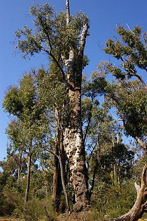 Eucalyptus marginata - Image: Jarrah tree burls 01 gnangarra