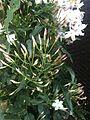 Jasminum polyanthum 1.jpg