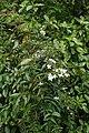 Jasminum polyanthum kz3.jpg