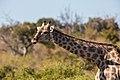 Jirafa (Giraffa camelopardalis), parque nacional de Chobe, Botsuana, 2018-07-28, DD 102.jpg