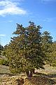 Juniperus excelsa - Boylu ardıç.jpg