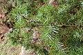 Juniperus oxycedrus kz13 (Morocco).jpg