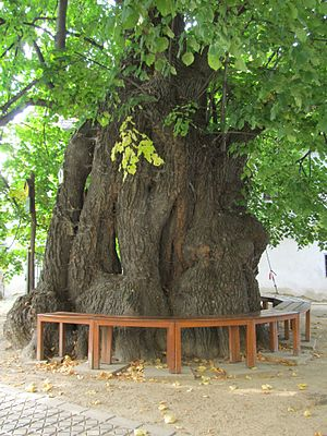 Lime tree in culture - Lime tree in Kaditz, photo