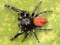 Kaldari Phidippus johnsoni male 02.jpg