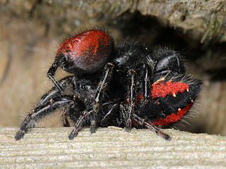 Mating psir of jumping spiders