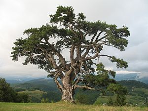 Kamena Gora (mountain) - 500-year-old pine tree on the mountain