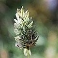 Kanariegräs-8667 - Flickr - Ragnhild & Neil Crawford.jpg