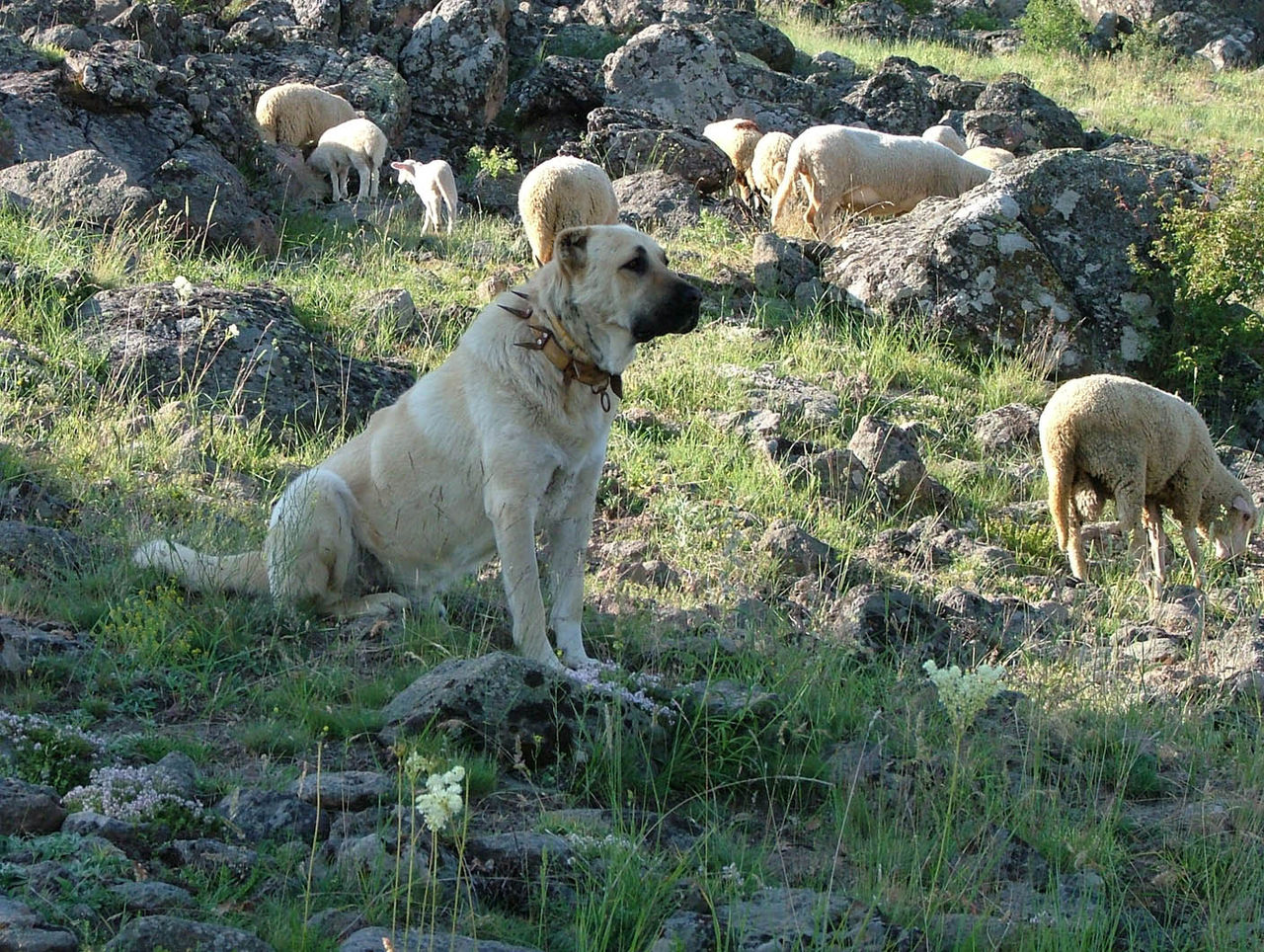 Lion Shepherd Dogs Pictures