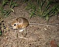 Kangaroo mouse.jpg