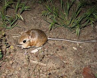 Kangaroo mouse - A pale kangaroo mouse in Nevada