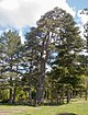 Karagöl sarıçam Pinus sylvestris.jpg