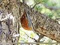 Kashmir Nuthatch (Sitta cashmirensis) (48088867196).jpg