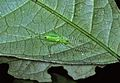 Katydid Nymph (Tettigoniidae) (7839151084).jpg