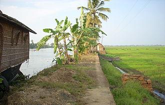 Kuttanad - Paddy fields in Kuttanad