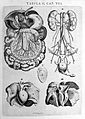 "Kidneys and intestines, Vesling ""Syntagma"", 1647 Wellcome L0007892.jpg"