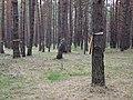 Kijów-Bykownia, ukraińskie barwy na drzewach upamiętniające ofiary terroru NKWD - Ukrainian flag commemorating victims of NKWD terror - panoramio.jpg