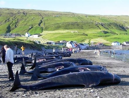 Killed pilot whales on the beach in Hvalba, Faroe Islands Killed pilot wales in hvalba, faroe islands crop.JPG