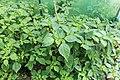 Kluse - Physalis philadelphica - Tomatillo 08 ies.jpg