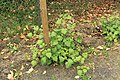 Kluse - Rubus phoenicolasius - Japanische Weinbeere 19 ies.jpg