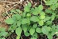 Kluse - Solanum nigrum - Schwarzer Nachtschatten 12 ies.jpg