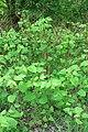 Korina 2013-05-07 Fallopia japonica 1.jpg