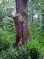 Královský dub v lese Bažantnici u Karolína - č. 3.jpg