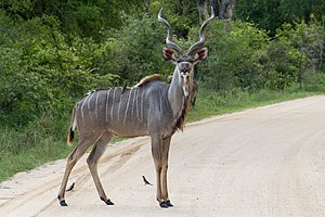 Kudu - A male greater kudu