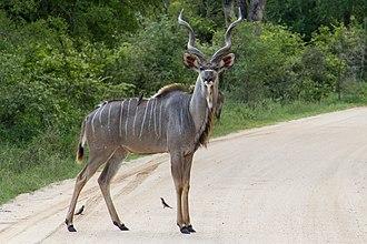 Kudu - A male greater kudu