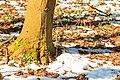 Kvetoucí sněženky v PP Sněženky ve Vysokém lese 35.jpg
