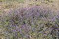 La Palma - El Paso - LP-3 - Echium plantagineum 01 ies.jpg