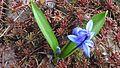 La siberia skilo 'scilo' (Scilla sibirica Haw.) 02.JPG