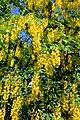 Laburnum alpinum Prague 2014 2.jpg