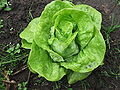 Lactuca sativa-whole plant top.JPG