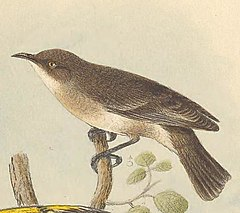 Lacustroica whitei - The Birds of Australia.jpg
