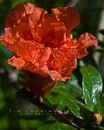 Landa Park Pomegranate flower