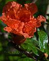 Landa Park Pomegranate flower.jpg
