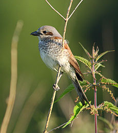Lanius collurio -Poland -female-8-4c.jpg