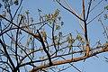 Lannea coromandelica (Wodier Tree) fruits in Hyderabd W IMG 7392.jpg