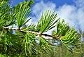 Larix occidentalis 4.jpg