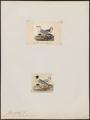Larus capistratus - 1700-1880 - Print - Iconographia Zoologica - Special Collections University of Amsterdam - UBA01 IZ17900264.tif