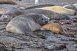"""Last excursion of our trip, at Elephant point on Livingston Island.Elephant Seals (Mirounga leonina), I presume.""""Hey you guys, can you give a couple some privacy here.??"""". (25990215096).jpg"""