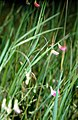 Lathyrus nissolia eF.jpg